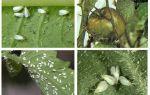 Μέθοδοι αντιμετώπισης λευκής μύγας στις ντομάτες στο θερμοκήπιο