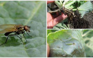 Πώς να χειριστείτε μια μύγα λάχανου και τις προνύμφες της