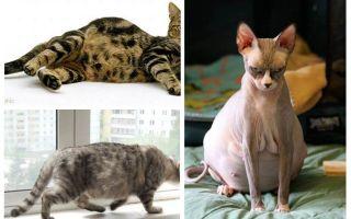 Πώς να αφαιρέσετε τους ψύλλους από μια έγκυο γάτα