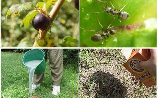 Πώς να χειριστείτε τα μυρμήγκια και τις αφίδες στην κορινθιακή σταφίδα