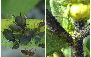 Πώς να χειριστείτε τις μαύρες αφίδες στις ντομάτες και στα αγγούρια