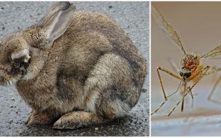 Πώς να αποθηκεύσετε κουνέλια από τα κουνούπια στο δρόμο και στο κουνελιού