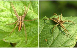 Περιγραφή και φωτογραφίες των αράχνων της περιοχής Saratov
