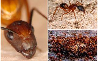Κόκκινα μυρμήγκια φωτιά