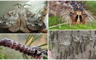 Περιγραφή και φωτογραφία κάμπιας και πεταλούδας του μεταξοσκώληκα της Σιβηρίας