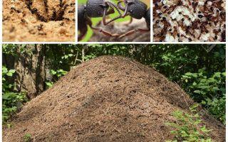 Η ζωή των μυρμηγκιών σε ένα μυώλιο