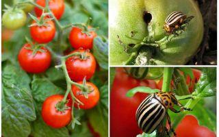 Πώς να επεξεργαστείτε τις ντομάτες από το σκαθάρι της πατάτας Κολοράντο
