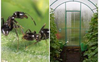 Πώς να ασχοληθεί με τα μυρμήγκια των θεραπειών λαϊκών θερμοκηπίων