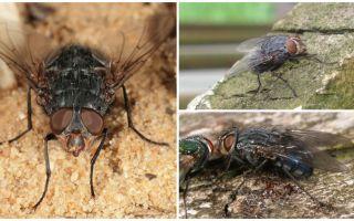 Περιγραφή και φωτογραφία μύγας μπλε κρέατος