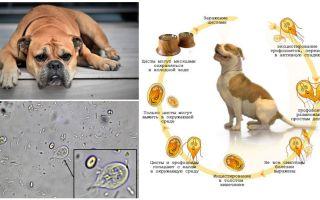Συμπτώματα και θεραπεία της Giardia σε σκύλους