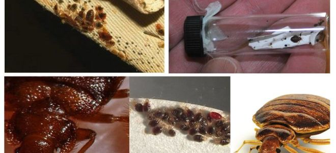 Όλα σχετικά με τα σκουλήκια στο κρεβάτι