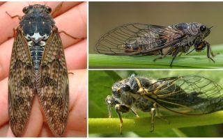 Περιγραφή και φωτογραφίες των μύγες τζιτζίκι