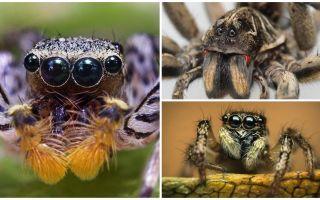 Πόσα μάτια έχει μια αράχνη;