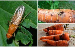 Πώς να απαλλαγείτε από τις μυρωδιές καρότο