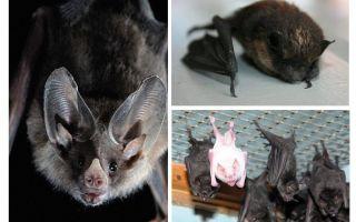 Πώς να απαλλαγείτε από τις νυχτερίδες στο σπίτι