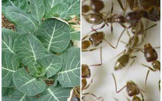 Πώς να σώσει το λάχανο από τα μυρμήγκια