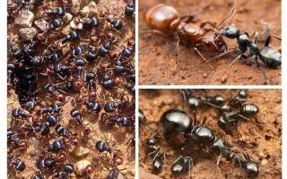 Στάδια ανάπτυξης του μυρμηγκιού