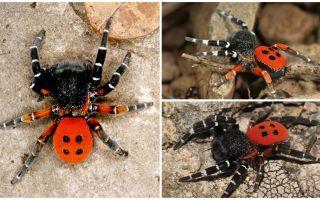 Περιγραφή και φωτογραφίες των αράχνων στην Κριμαία
