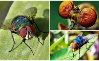 Πόσα καρέ ανά δευτερόλεπτο βλέπει μια μύγα και πόσα μάτια έχει