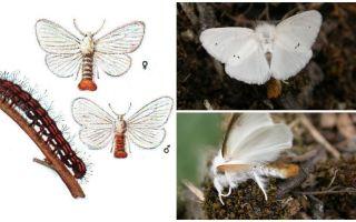Περιγραφή και φωτογραφία πεταλούδας και κάμπιων