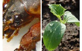 Πώς να προστατεύσετε τα σπορόφυτα από την Medvedka