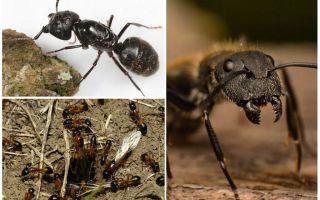 Woodwind μυρμήγκια