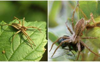 Πόσα συνηθισμένες αράχνες ζουν σε ένα διαμέρισμα και στη φύση