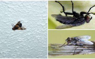 Καθώς μια μύγα κάθεται και προσκολλάται στο ταβάνι