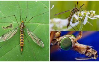 Μεγάλα κουνούπια με μακριά πόδια (Cans)