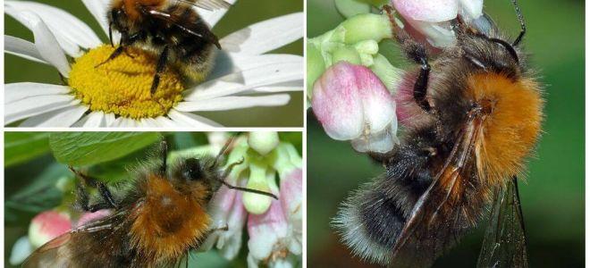 Περιγραφή και φωτογραφία του bumblebee της πόλης