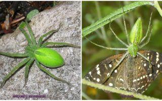 Πράσινες αράχνες στη Ρωσία