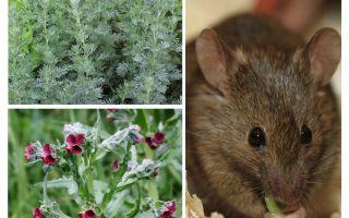 Λαϊκές θεραπείες για ποντίκια
