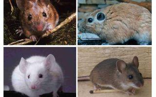 Το μεγαλύτερο ποντίκι στον κόσμο