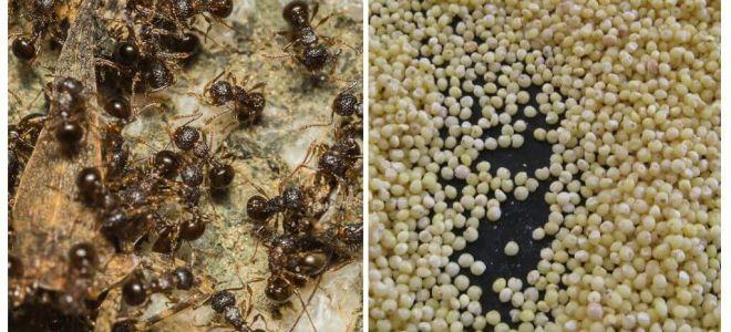 Κεχρί κατά των μυρμηγκιών στη χώρα