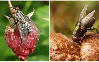 Ποια είναι η χρήση των μύγες
