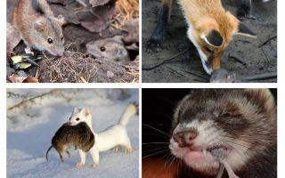 Ποιος τρώει ποντίκια