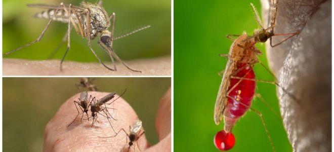 Άτομα με τα οποία η ομάδα αίματος τσιμπάνεται συχνότερα από τα κουνούπια