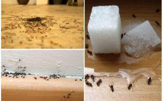 Πώς να αφαιρέσετε τα μυρμήγκια από ένα διαμέρισμα στο σπίτι