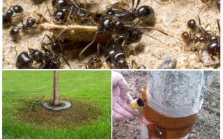 Ant παγίδες στα δέντρα με τα χέρια τους
