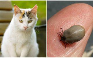 Τι να κάνετε αν μια γάτα είναι δαγκωμένη από ένα τσιμπούρι