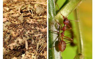 Τι είναι τα χρήσιμα μυρμήγκια