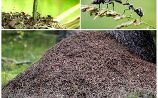 Σε ποια πλευρά του δέντρου θα δημιουργηθούν μυρμήγκια