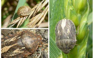 Bug επιβλαβής χελώνα
