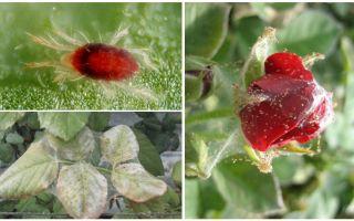 Πώς να επεξεργαστείτε ένα τριαντάφυλλο από ακάρεα αράχνης