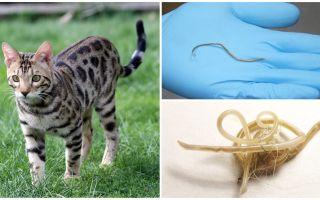Συμπτώματα και θεραπεία της αναισθησίας στις γάτες