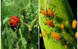 Ladybug και αφίδες
