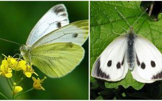 Περιγραφή και φωτογραφίες των κάμπιων και των πεταλούδων λάχανο