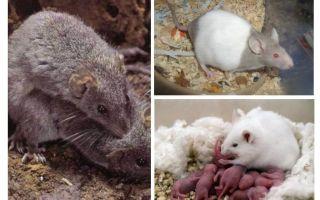 Αναπαραγωγή ποντικών