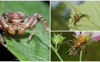 Περιγραφή και φωτογραφία του καβουριού αράχνη (μη ισομετρική bokhoda)