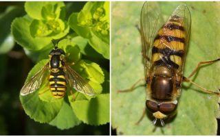 Περιγραφή και φωτογραφία μιας ριγέ μύγας που μοιάζει με μια σφήκα